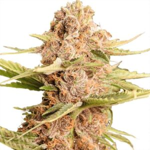 Buy Girl Scout Cookies Feminized Seeds Online | Girl Scout Cookies Auto Feminized Seeds for sale|