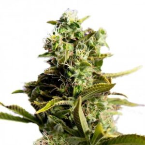 Buy Pain Killer Feminized Seeds Online | PainKiller feminized seeds for sale|Search Results Web results  Buy Weed Online – Mail Order Marijuana – Online Weed Shop